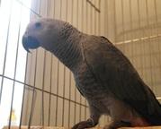 2 Африканский серый попугай