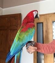 Милые и красивые руки,  выращенных красный ара