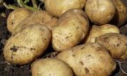 Картофель потом урожай 2018